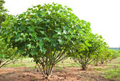 Jatropha plant in countryside of Thailand — Stock Photo