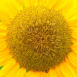Stock Photo: Sunflower close up