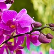 Beautiful purple orchid close up — Stock Photo