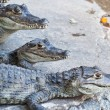 Stock Photo: Young Crocodiles resting