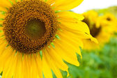 Sunflower close up — Foto Stock