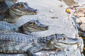 Young Crocodiles resting — Stock Photo