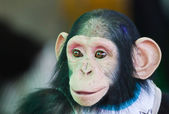 Young Chimpanzee smiling — Stock fotografie