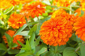 Orange Zinnia flowers in the garden — Stock Photo
