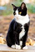 泰国猫 — 图库照片