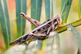 Wrinkled grasshopper — Stock Photo