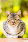 Thai Cat — Stock Photo