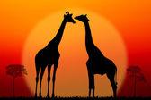 Paar giraffen — Stockfoto