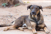 Black brown thai dog  — Foto Stock