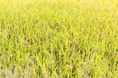 Rice in field ready for harvest — Stock Photo