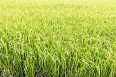 Green paddy rice in field  — Stock Photo