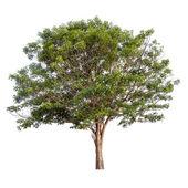 árbol aislado en blanco — Foto de Stock