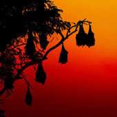 silhouetted fruit bat on tree at sunset — Photo