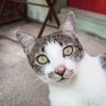 mladí siamská kočka při pohledu na fotoaparát — Stock fotografie