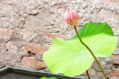 Single fresh lotus bud — Foto Stock