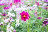 Field of colorful beautiful Cosmos Flower — Stock Photo