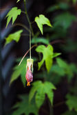 Fascinating single fuchsia flower close up — Stock Photo