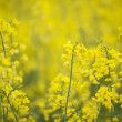 Stock Photo: Canolflowers