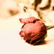 Stock Photo: Faded rose