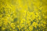 Canola flowers — Stock Photo