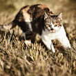 Hunting cat - Stock Photo