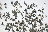 Bird Swarm — Stock Photo