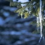 Icicles on tree — Stock Photo