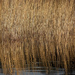 Lots of reeds — Stock Photo