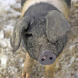 Even pigs can be pretty — Stock Photo