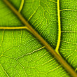 Stock Photo: Leaf macro