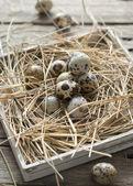 Pascua los huevos de codornices — Foto de Stock