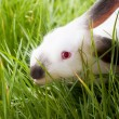 White Rabbit in a Grass - Stock fotografie