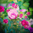 Bush of Pink Roses — Stock Photo
