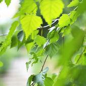 Birch Branch in a Sun Light — Stock Photo
