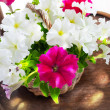 Petunia flowers in a wattled basket — Stock Photo