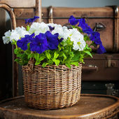 White and Violet Petunia flowers in a wattled basket — Stock Photo