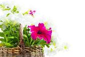 Biały i różowy petunia w kosz, na białym tle — Zdjęcie stockowe