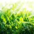 Stock Photo: Green Summer Grasses dandelions in Sun Rays, background