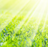Close up of Field Grass in sun rays, square background — Stock Photo