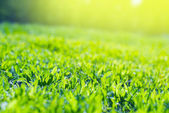 Close up of Field Grass in sun rays — Stock Photo