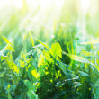 Green Summer Grass with sunny rays — ストック写真
