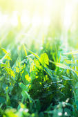 Green Summer Grass with sunny rays — Stock Photo
