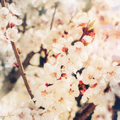 Spring Branch of Blossoming Cherry — Foto de Stock