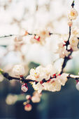 Flowers of Spring Apricot blossoming — Stock Photo