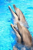 Dolphins Heads : Smiles in Blue Water - Stock Photo — Stock Photo