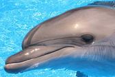 Dolphin Head in Blue Water - Stock Photo — Stock Photo