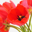 Valentines or Mothers Day Tulip Card - Stock Photo — Stock Photo #18221113