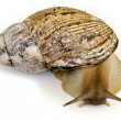 Giant snail Achatin- instance of 25 centimeters — Stock Photo #25038875