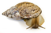 The giant snail Achatina - instance of 25 centimeters — Stock Photo
