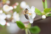 Bee collects nectar on the flowers of cherry — Stock Photo